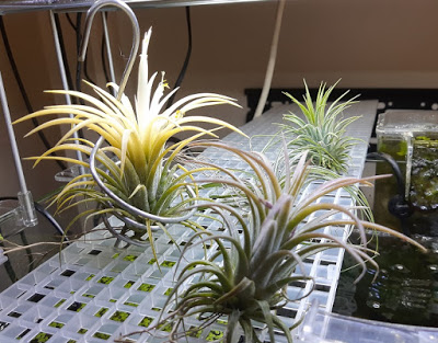 Cory Diary : Picking up new hobby – Air Plant