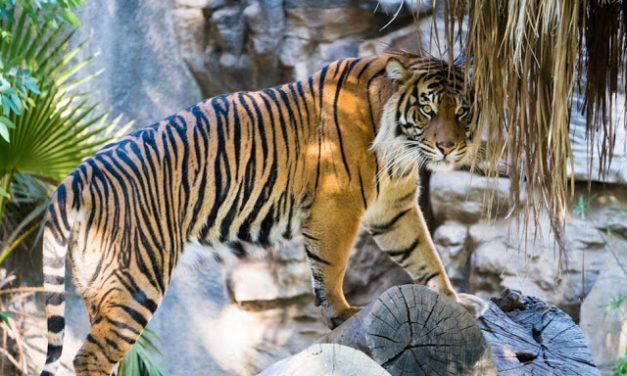 Accompanying a king is just like accompanying a tiger- 伴君如伴虎